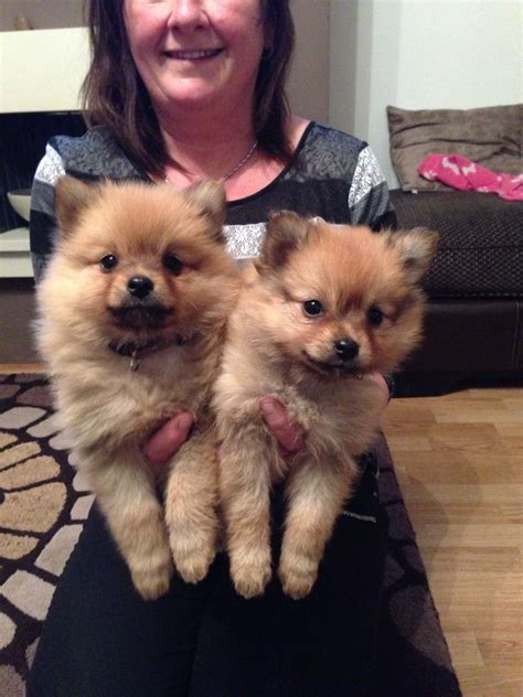 teacup pomeranian for sale essex pomeranian puppy adoption breeds picture