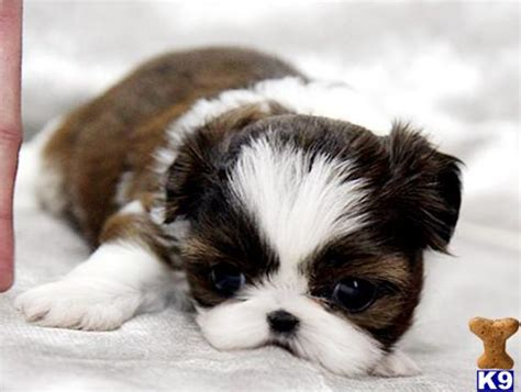 teacup shih tzu puppies for sale near me yorkie maltese shih tzu breeders teacup puppies bichon frise breeds picture