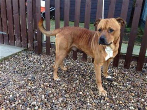 staffy cross rottweiler puppy eddie 2 year staffordshire bull terrier cross