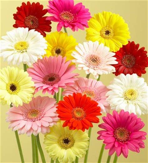 imagenes flores gerberas tipos de flores las gerberas gerberas pinterest
