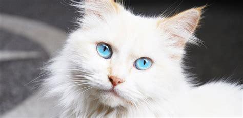 gatti persiani bianchi gatti