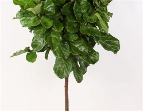 ficus planta interior ficus ficus lyrata plantas de interior