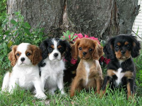 Cute Puppies and Dogs Pictures: Cavalier King Charles ...