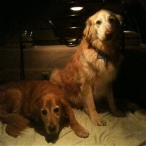homeward bound golden retriever rescue sacramento golden hearts golden retriever rescue breeds picture