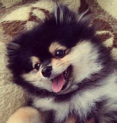 pomeranian puppies that look like pandas for sale this pomeranian looks like a panda so pomeranians and pandas