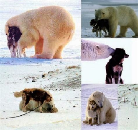 are dogs and bears related why aren t these two adversaries fighting viciously snow addiction news