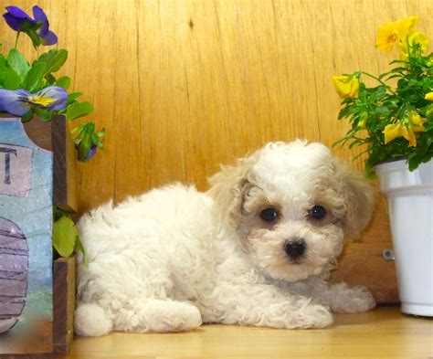 apricot yorkie poo grown teacup yorkies image search results breeds picture