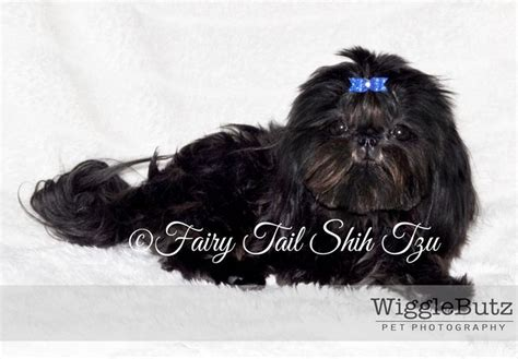 solid black shih tzu puppies for sale 1000 images about shih tzu on puppies for sale