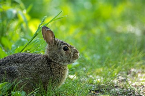 the rabbit the solution to our domesticated issues books homeopathy rabbit plagues and germany homeopathy plus