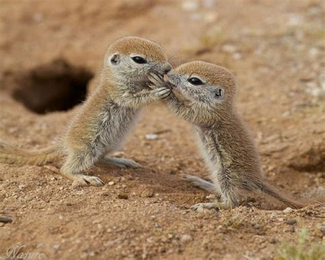 baby prairie dogs adorable baby prairie dogs just