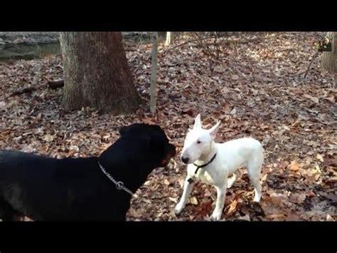 staffordshire bull terrier vs rottweiler pelea de perros bull terrier mini mascota o asesino doovi