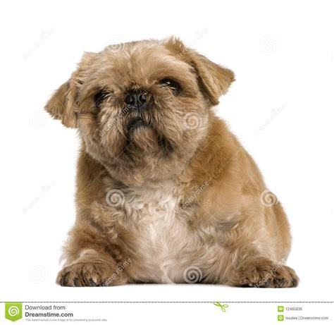 shih tzu or pug kruising tussen pug en een shih tzu stock foto afbeelding 12485836