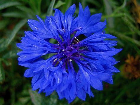 cornflower blue cornflower wallpaper