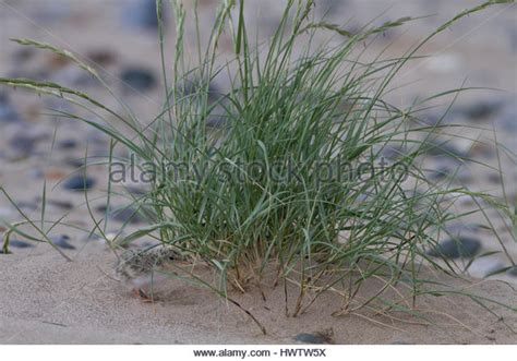 sea couch grass sand couch grass stock photos sand couch grass stock