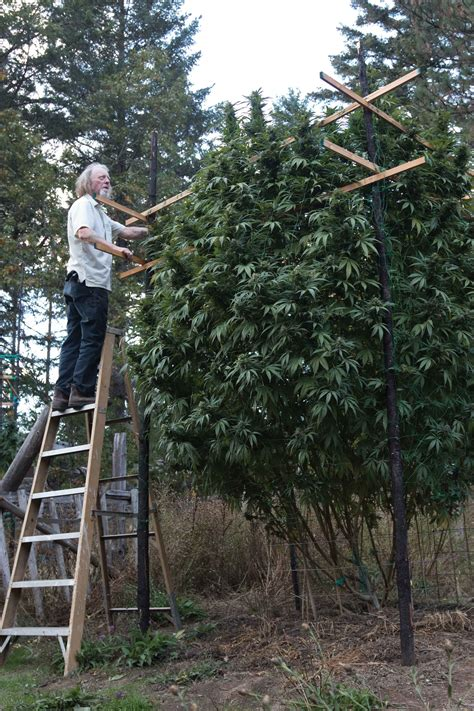 giant plants  southern oregon drcannabisconsultcom