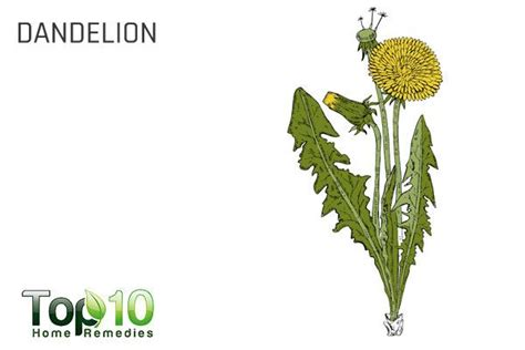 dandelion facts 10 best herbs that improve your health page 3 of 3 top