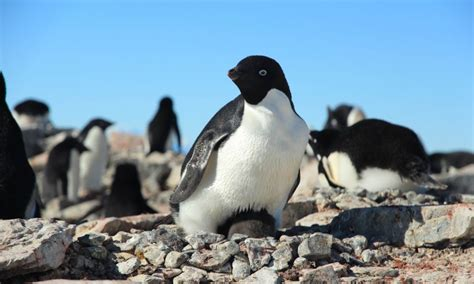 understanding a photograph penguin 0141392029 spy on penguin families for science university of oxford