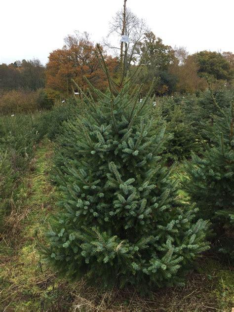freshly cut serbian spruce send me a christmas tree