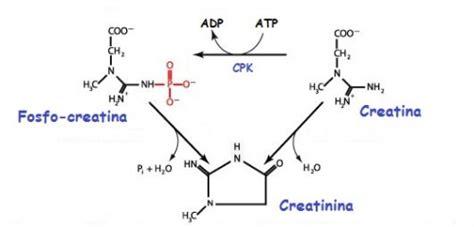 creatininemia e creatinina la creatinina molfetta