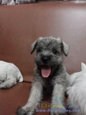 Mini 3 Bandung dunia anjing jual anjing miniature schnauzer mini schnauzer lokasi bandung special price