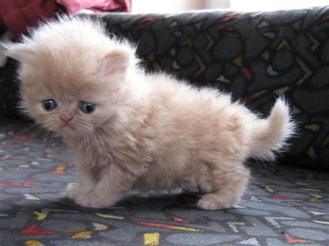 persian cats in orlando my persian kittens persian persian cat this is what i want for christmas cutest
