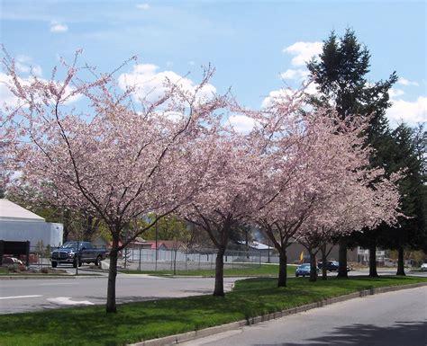 autumn flowering cherry cherry blossom gift of ra