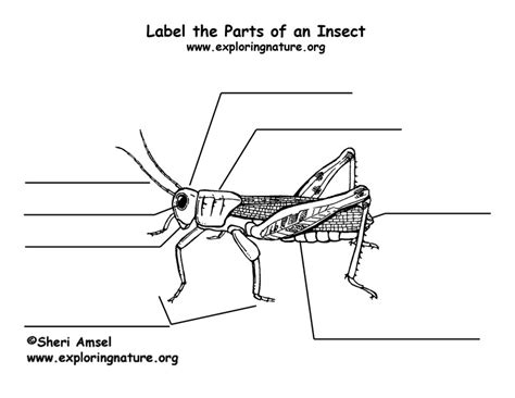 diagram of a grasshopper with label label the parts of an insect