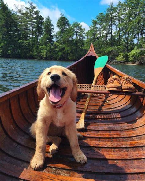 golden retriever breeders ta the cutest golden retriever puppies laughtard