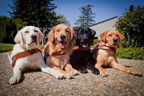 Guide Dogs For The Blind San Rafael san rafael image digital journal