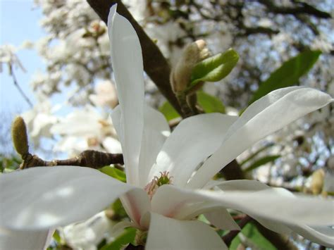 magnolia tree flowers art prints white magnolia flower by baslee troutman