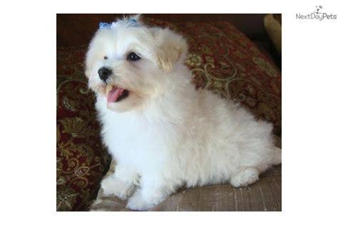 maltipoo puppies for sale in dallas malti poo maltipoo puppy for sale near texoma 6a0544d3 2411
