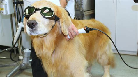 laser therapy for dogs sarasota veterinary center