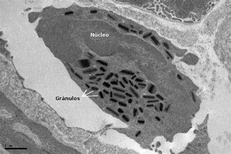 pics photos imagen tomada funciones nucleo ecro clelula tipos celulares eosin 243 filo atlas de histolog 237 a vegetal y animal