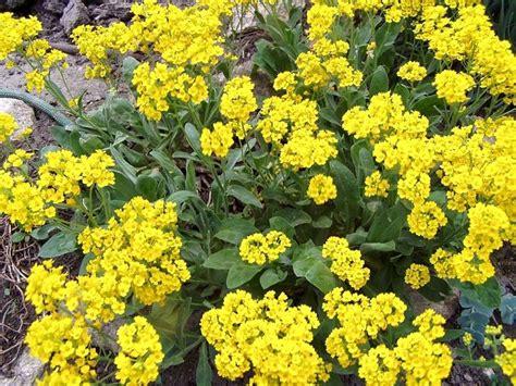 fiore alisso alisso alisso perenne alisso giallo alyssum saxatile