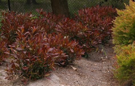 tristaniopsis laurina dwarf burgundy blush pbr pending