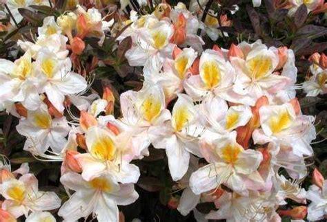 slipper azalea azalia wielkokwiatowa silver slipper azalea silver slipper