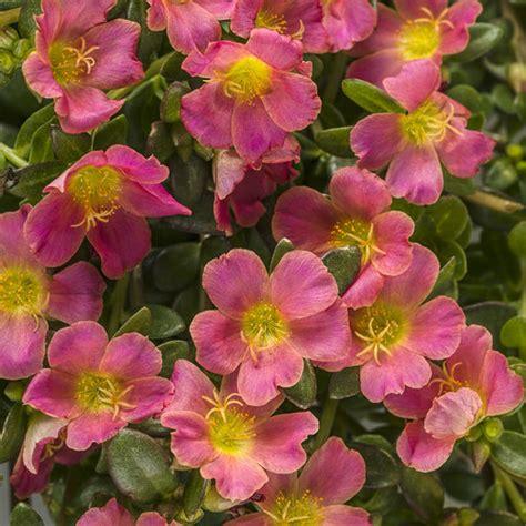 Mossrose Orange Lokal 5 Stek mojave 174 pink moss portulaca grandiflora proven winners
