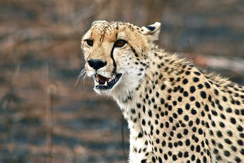 pictures of animals cheetah the animal animals wiki pictures stories