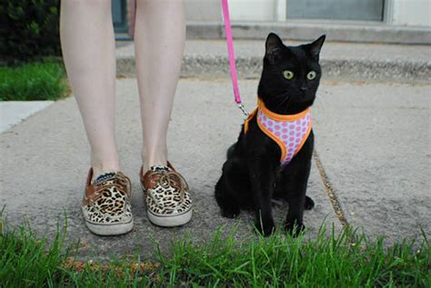how to leash a how to leash your cat