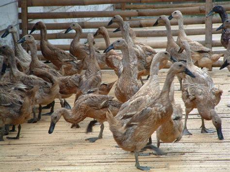 Jual Bibit Itik Petelur Di Medan cara ternak kelinci ternak itik