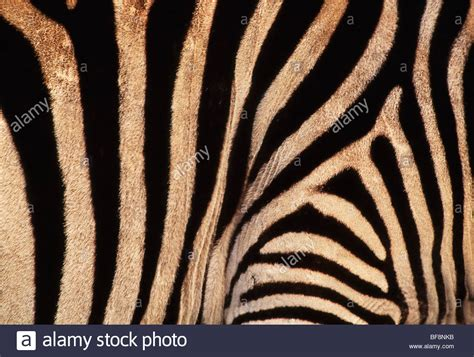 what color is a zebra s skin zebras mating stock photos zebras mating stock images