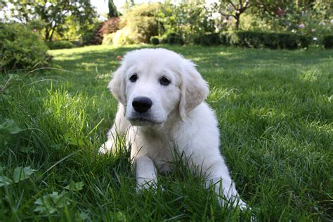 perros golden retriever gratis fotos gratis blanco perrito golden retriever animales vertebrado raza canina