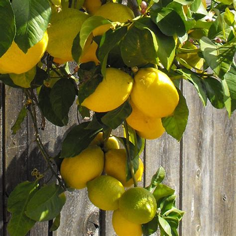 Lemon Tree Gift Card - 4 5 year old eureka lemon tree