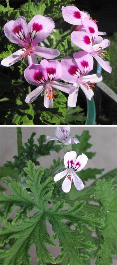 citrosa geranium mosquito plant deodorizer plant citronella plant pelargonium citrosum
