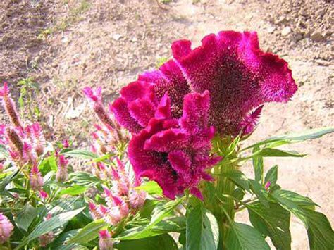 fiori creste di gallo cresta di gallo celosia