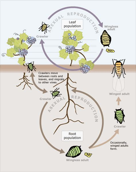 cycle of aphids diagram aphid cycle