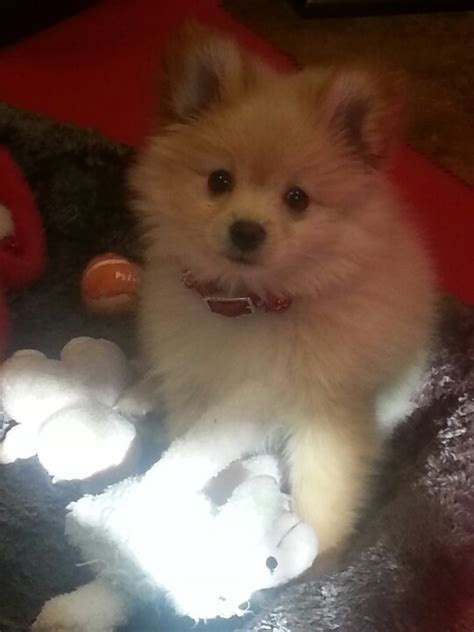 chihuahua and pomeranian puppies my pomeranian chihuahua mix puppy winston animals chihuahuas we and