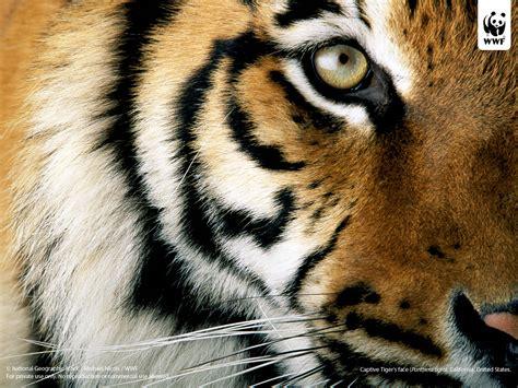 wallpaper harimau biru belang sumatra menikmati hutan menyusuri jejak harimau