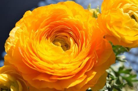 ranuncolo fiore ranuncoli coltivazione e usi