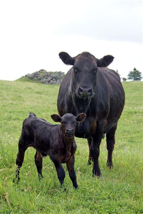 black angus black angus cow calf i love black angus they re always